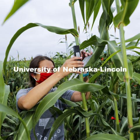 Mackenzie Zweiner, graduate student in agronomy and horticulture, measures leaf angles in her research field northeast of 84th and Havelock. She is working on identifying varieties with leaves that don't spread out as far and allow for denser planting in the fields. Sorghum fields northeast of 84th and Havelock in Lincoln. August 7, 2020. Photo by Craig Chandler / University Communication.
