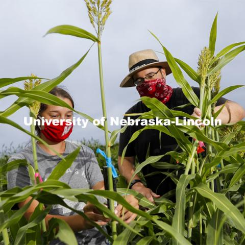 Mackenzie Zweiner, graduate student in agronomy and horticulture, and Professor James Schnable discuss the panicles of sorghum plants in the research field northeast of 84th and Havelock. The two are working on identifying varieties with leaves that don't spread out as far and allow for denser planting in the fields. Sorghum fields northeast of 84th and Havelock in Lincoln. August 7, 2020. Photo by Craig Chandler / University Communication.