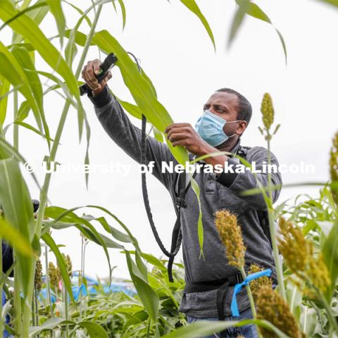 Nuwan Wijewardane measure photosynthesis in the leaves of a sorghum plant. Sorghum fields northeast of 84th and Havelock in Lincoln. August 7, 2020. Photo by Craig Chandler / University Communication.