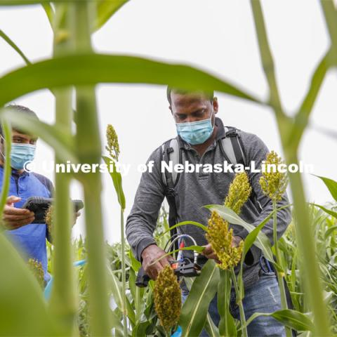 Nuwan Wijewardane, right, and Abbas Atefi measure photosynthesis in the leaves of a sorghum plant. Sorghum fields northeast of 84th and Havelock in Lincoln. August 7, 2020. Photo by Craig Chandler / University Communication.
