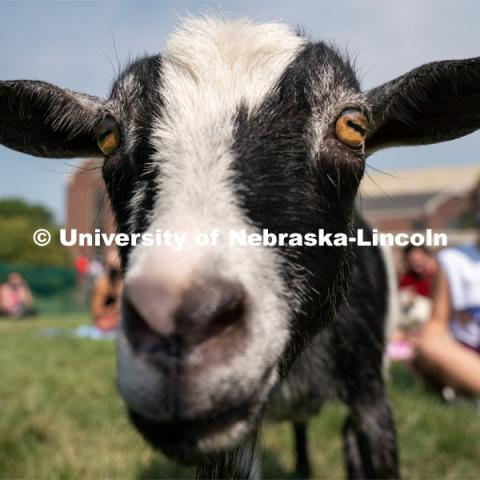 A goat roams around a fenced area during Wellness Fest at Meier Commons. August 22, 2020. Photo by Jordan Opp for University Communication.