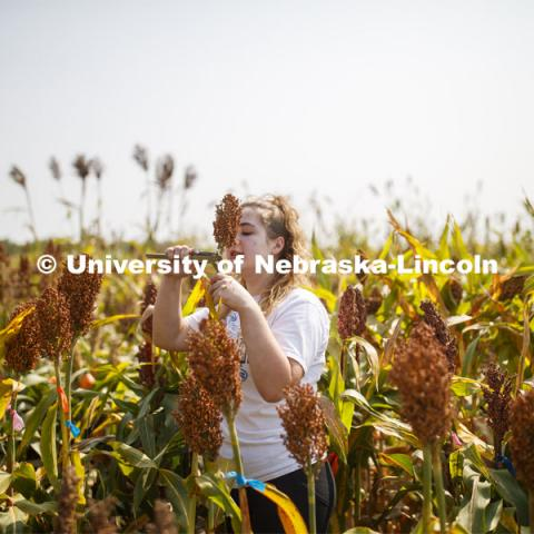 Alexis Finch, a sophomore from Omaha, measures stem diameters in the sorghum test plots at 84th and Havelock. September 21, 2020. Photo by Craig Chandler / University Communication.