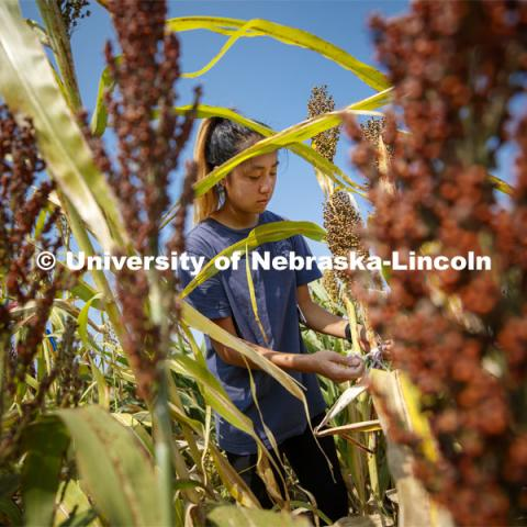 Alice Guo, a sophomore from Omaha, measures stem diameters in the sorghum test plots at 84th and Havelock. September 21, 2020. Photo by Craig Chandler / University Communication.