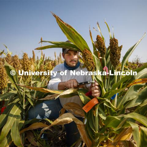 Kyle Linders measures stem diameters in the sorghum test plots at 84th and Havelock. September 21, 2020. Photo by Craig Chandler / University Communication.