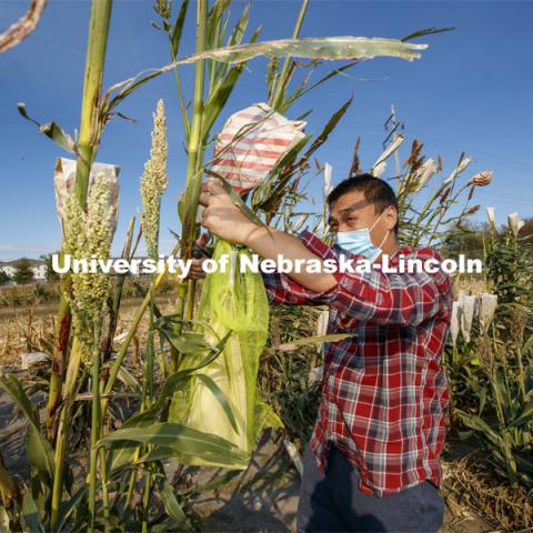 PhD student Hongyu Jin cuts bagged sorghum panicles. The seeds will be sorted and used to plant test plots next year. Sorghum harvesting of seed varieties to be evaluated for larger plot tests. East Campus ag fields. October 14, 2020. Photo by Craig Chandler / University Communication.