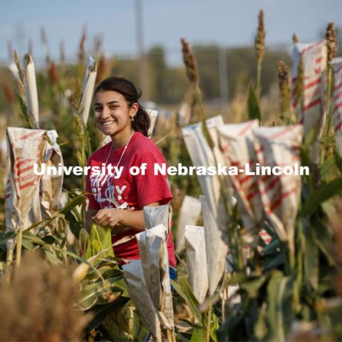 Isabele Sigmon, freshman for Hickory, NC, cuts bagged sorghum panicles. The seeds will be sorted and used to plant test plots next year. Sorghum harvesting of seed varieties to be evaluated for larger plot tests. East Campus ag fields. October 14, 2020. Photo by Craig Chandler / University Communication.