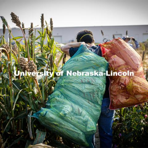 Jon Turkus carries mesh bags full of bagged sorghum panicles to the side of the field for collection. The seeds will be sorted and used to plant test plots next year. Sorghum harvesting of seed varieties to be evaluated for larger plot tests. East Campus ag fields. October 14, 2020. Photo by Craig Chandler / University Communication.