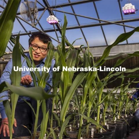 Nebraska's Jinliang Yang (left), assistant professor of agronomy and horticulture, and Gen Xu, post doc and first author of the study and their colleagues, have shown that differences in how genes are turned on and off, rather than actual changes in DNA, may explain some important physiological differences between modern-day maize and a 10,000-year-old ancestral species. November 18, 2020. Photo by Craig Chandler / University Communication.